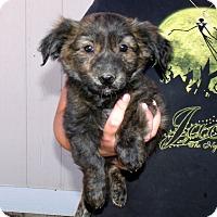 Adopt A Pet :: GIZMO'S PUPS F - Corona, CA