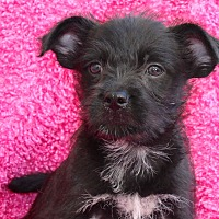 Adopt A Pet :: Spice Girl - Los Angeles, CA