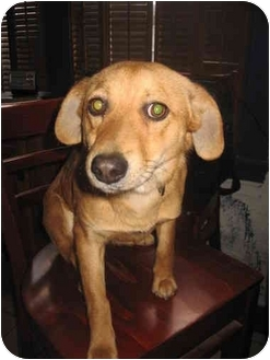 Golden Retriever/Fox Terrier (Smooth) Mix Puppy for adoption in Buffalo, New York - Sam: 25# of loyalty.