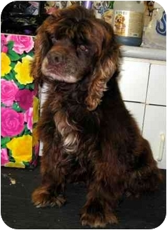 Cocker Spaniel Dog for adoption in Fort Wayne, Indiana - Makin'