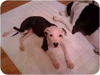 American Pit Bull Terrier Mix Puppy for adoption in Reisterstown, Maryland - Charlie