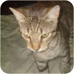 Bengal Kitten for adoption in Greensboro, Georgia - Angelique