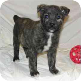 Labrador Retriever/Shepherd (Unknown Type) Mix Puppy for adoption in Bel Air, Maryland - Hayden