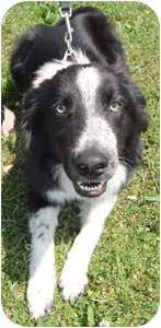 Border Collie Dog for adoption in Oliver Springs, Tennessee - Jackson