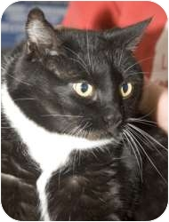 Domestic Shorthair Cat for adoption in Tangent, Oregon - May