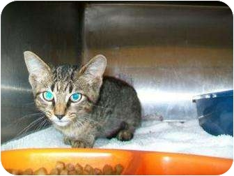 Domestic Shorthair Kitten for adoption in Munster, Indiana - Andy