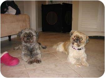 Shih Tzu Dog for adoption in Dennis, Massachusetts - PRINCE AND PRINCESS