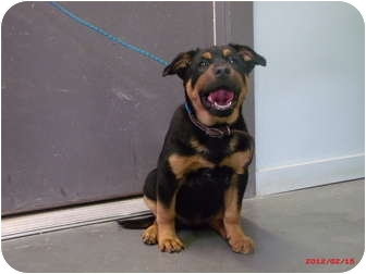 Rottweiler Mix Puppy for adoption in Cranford, New Jersey - Cassius-ADOPTED