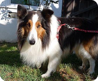 Sheltie, Shetland Sheepdog Dog for adoption in San Diego, California - Colonel