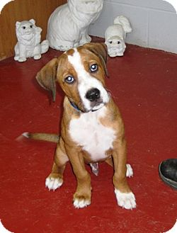 Boxer Mix Puppy for adoption in Florence, Indiana - Stetson