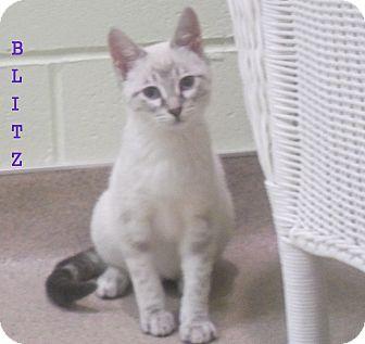 Domestic Shorthair Kitten for adoption in Slidell, Louisiana - Blitz
