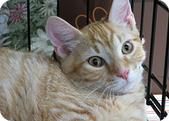 Domestic Shorthair Kitten for adoption in Frederick, Maryland - Clyde