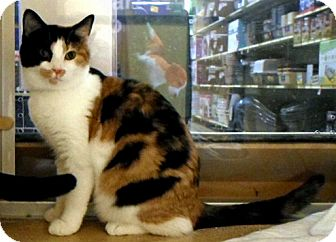 Domestic Shorthair Cat for adoption in Worcester, Massachusetts - Esther