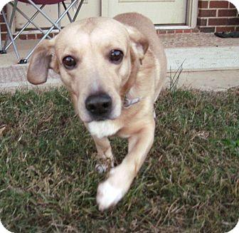 Corgi/Labrador Retriever Mix Dog for adoption in Marietta, Georgia - Conrad