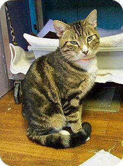 Domestic Shorthair Cat for adoption in Dover, Ohio - Tibert