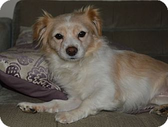 Cavalier King Charles Spaniel/Papillon Mix Dog for adoption in Los Angeles, California - BB