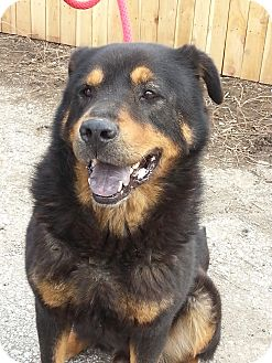 Rottweiler/Chow Chow Mix Dog for adoption in Indianapolis, Indiana - Bear