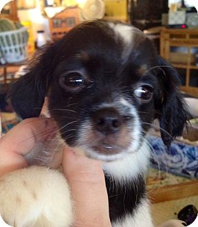 Dachshund/Pekingese Mix Puppy for adoption in waterbury, Connecticut - LInus