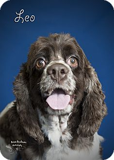 Cocker Spaniel Dog for adoption in Rancho Mirage, California - Leo Jr.