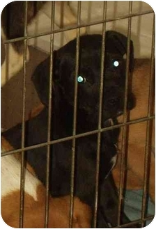Patterdale Terrier (Fell Terrier) Mix Puppy for adoption in Boonton, New Jersey - CLARABELLE