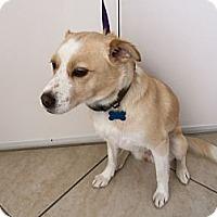 Adopt A Pet :: Sandy - Corona del mar, CA