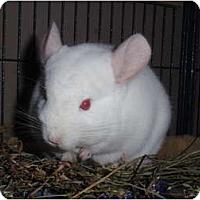 Adopt A Pet :: Maraschino - Virginia Beach, VA