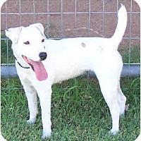 Adopt A Pet :: LILO - Phoenix, AZ