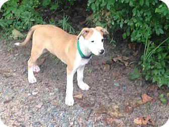 Collie/Labrador Retriever Mix Puppy for adoption in East Hartford, Connecticut - Blaze meet me 8/29
