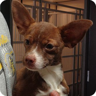 Chihuahua/Feist Mix Dog for adoption in Greencastle, North Carolina - Lizzy