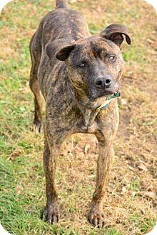 Pit Bull Terrier Mix Dog for adoption in Laingsburg, Michigan - Tucker