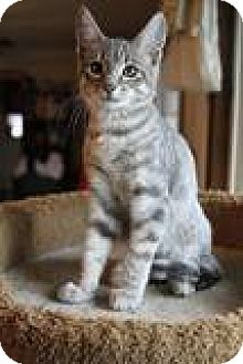 Domestic Shorthair Cat for adoption in Vancouver, Washington - Jackson