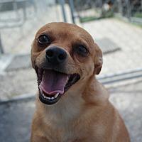 Adopt A Pet :: PEANUT - San Pablo, CA