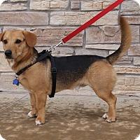 Adopt A Pet :: Odie - Norman, OK