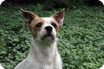 Terrier (Unknown Type, Small) Mix Dog for adoption in Austin, Texas - Tyrion