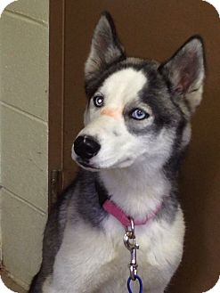 Siberian Husky Dog for adoption in Cadiz, Ohio - SNOW