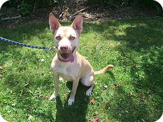 Husky Mix Dog for adoption in New Castle, Pennsylvania - Bella Bean