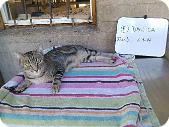 Domestic Shorthair Kitten for adoption in Mesa, Arizona - DANICA 1 YR TABBY FEMALE