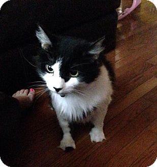 Domestic Shorthair Cat for adoption in Harrisonburg, Virginia - Oreo
