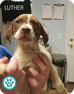 Labrador Retriever/Spaniel (Unknown Type) Mix Puppy for adoption in Kimberton, Pennsylvania - Luther