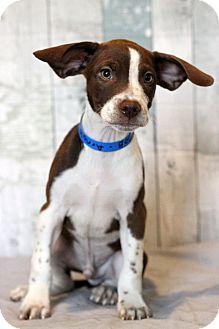 Beagle/Terrier (Unknown Type, Medium) Mix Puppy for adoption in Waldorf, Maryland - Arnold