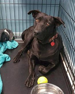 Labrador Retriever Dog for adoption in Rockaway, New Jersey - Summer Moore