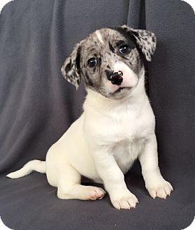 Australian Shepherd Mix Puppy for adoption in Hainesville, Illinois - Everest