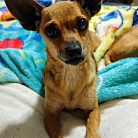 Adopt A Pet :: Pippy - Fowler, CA