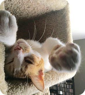Domestic Shorthair Cat for adoption in San Antonio, Texas - Ollie