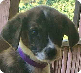 Bluetick Coonhound Mix Puppy for adoption in Harrisonburg, Virginia - Purple