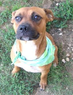 Boxer Mix Dog for adoption in Pilot Point, Texas - WAVERLY