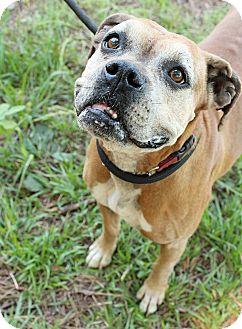 Boxer Mix Dog for adoption in McCormick, South Carolina - Bella