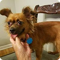 Chihuahua/Pomeranian Mix Dog for adoption in Indianapolis, Indiana - Luna