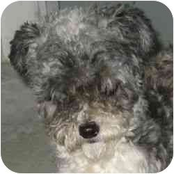 Poodle (Toy or Tea Cup) Mix Dog for adoption in Berkeley, California - Karo