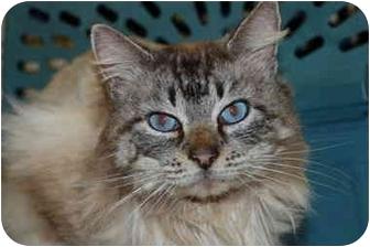 Domestic Longhair Cat for adoption in Putnam Hall, Florida - Secret